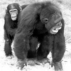 consolation and empathy among chimpanzees