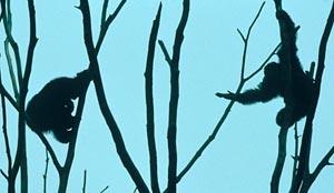 peace-making among chimpanzees